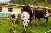 Cattle and abandoned building pic.