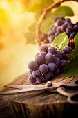 picture of wooden basket  - Fresh harvest of grapes - JPG