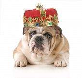 pic of reign  - dog wearing crown  - JPG