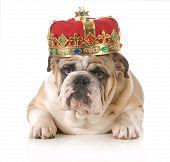 foto of reign  - dog wearing crown  - JPG