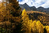 Larches In Autumn (north Italy)