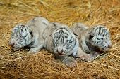 picture of white tiger cub  - one week white Bengal tigers in nature crying