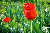 Red spring tulips on gresh green grass background