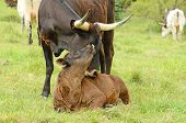 picture of texas-longhorn  - Young Texas Longhorn calves in the pasture on a warm summer morning - JPG