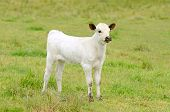 pic of texas-longhorn  - Young Texas Longhorn calves in the pasture on a warm summer morning - JPG