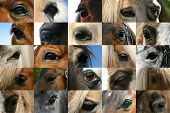 picture of horse head  - A collection of horse eyes - JPG