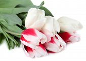 Beautiful tulips isolated on white