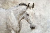 stock photo of horse face  - Portrait of beautiful white horse against the wall - JPG
