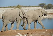 stock photo of tusks  - Large male African Elephant (Loxodonta africana) nudges another from behind with its tusks at a water hole in Etosha National Park in Namibia