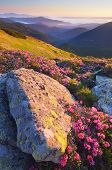 Sunny Dawn in the mountains. Blooming rhododendron bushes. Pink flowers in the morning sun. Carpathi