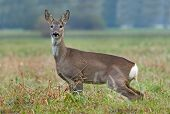 pic of peeing  - Photo of roe deer standing in a field and peeing - JPG