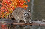 Raccoon (Procyon lotor) Looks Out At Viewer From Log