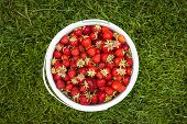Bucket of freshly picked strawberries shot from above on green grass outside