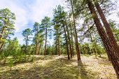 Pine tree forest in Grand Canyon Arizona USA