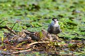 image of tern  - The Whiskered Tern - JPG