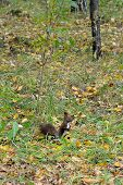 foto of siberia  - Squirrel in autumn forest in the park  - JPG