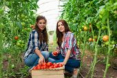 pic of picking tray  - Young smiling agriculture woman worker in front and colleague in back and a crate of tomatoes in the front - JPG