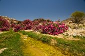 picture of oleander  - A small wadi (creek) with pink oleander bushes going towards Wadi Araba from Petra Jordan. ** Note: Visible grain at 100%, best at smaller sizes - JPG