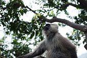 picture of hanuman  - Hanuman Langur monkey on the tree in India - JPG