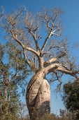 picture of baobab  - Baobab Amoureux two baobabs in love Madagascar - JPG