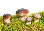 image of boletus edulis  - Four mushrooms Boletus edulis  - JPG