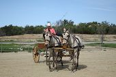 pic of blinders  - carriage driver leads the mule team around a turn in an arena - JPG