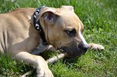 picture of american staffordshire terrier  - American Staffordshire Terrier playing with a stick - JPG