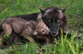foto of begging  - Wolf Pup  - JPG