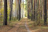pic of sedimentation  - pine forest in autumn with a dirt road, cloudy and damp