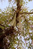 image of tillandsia  - Spanish moss growing naturally in a Southern Oak tree - JPG