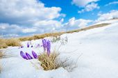 pic of saffron  - saffron crocus first spring flower closeup between melting snow - JPG