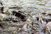 picture of catfish  - Sutchi catfish  - JPG