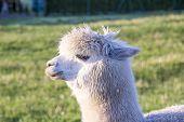 pic of alpaca  - alpaca portrait at green meadow in the zoo - JPG