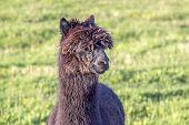 image of alpaca  - alpaca portrait at green meadow in the zoo - JPG