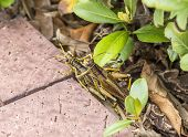 pic of copulation  - two cupulating grasshoppers in the town at the pedestrian way