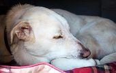 picture of sleepy  - Old sleepy Spanish Mastiff in doghouse closeup  - JPG