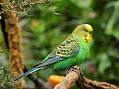 Budgerigar, also known as common pet parakeet