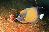 picture of angelfish  - Blue - JPG