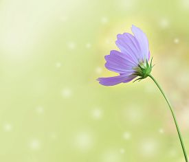 picture of cosmos flowers  - Pink cosmos flower and blurred background flower background soft focus - JPG