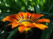 picture of drought  - gazaniasolar flower drought resistant plant that will decorate any flower bed  - JPG