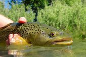image of trout fishing  - Brown trout caught and release near the Idaho and Oregon border - JPG
