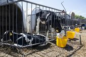 foto of calves  - young black and white calfs drink from yellow buckets - JPG