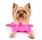 stock photo of yorkshire terrier  - One Yorkshire Terrier in pink overalls with haircut lies on white background - JPG