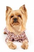 stock photo of yorkshire terrier  - Photograph of the perfectly groomed Yorkshire Terrier in patchy overalls sits on white - JPG