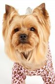 picture of yorkshire terrier  - Portrait of the Yorkshire Terrier in coveralls with elegant haircut over white - JPG