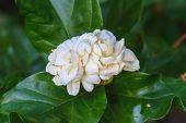 stock photo of arabian  - Arabian jasmine (Jasminum sambac) flower on tree in the garden ** Note: Shallow depth of field - JPG