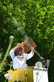 foto of inspection  - Experienced senior apiarist making inspection in apiary in the springtime - JPG