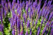 pic of salvia  - Closeup of purple flowering Woodland Sage or Salvia nemorosa plants from close in their own habitat on a sunny day in the spring season - JPG