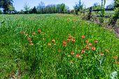 foto of texas star  - Bright Orange Indian Paintbrush Wildflowers Near an Old Wooden Fence on Texas Farmland - JPG