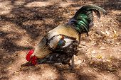 image of roosters  - Something to Crow About  - JPG